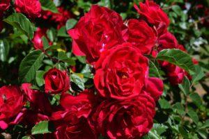 róża ze szkółki